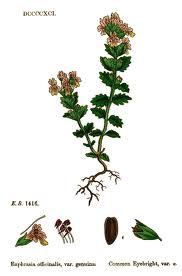 Eupbrusia officinalis