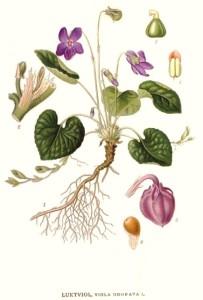 viola-odorata