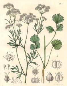 Pimpinella-anisum