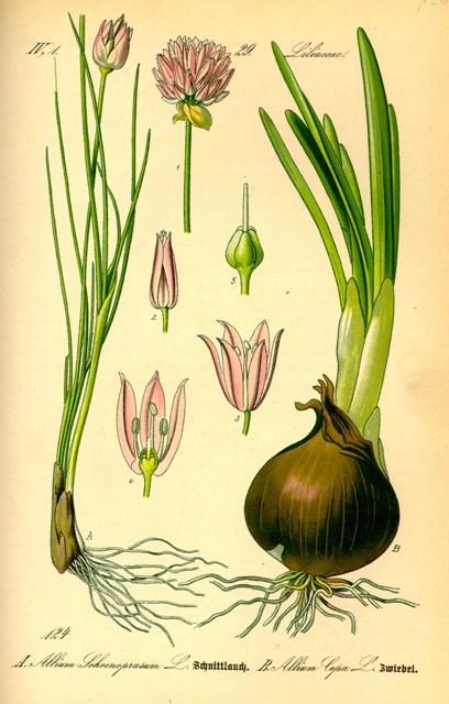 Aglio allium sativum propriet curative e terapeutiche for Aglio pianta